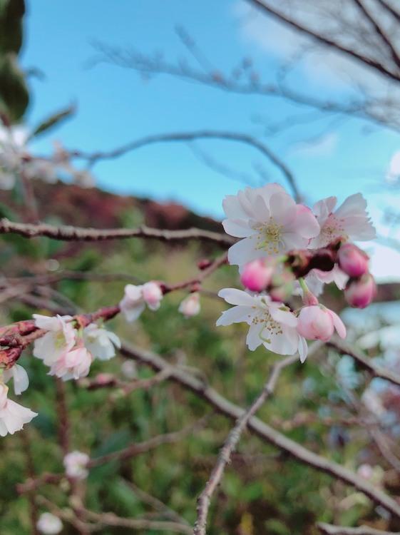 あれ?冬なのに桜...