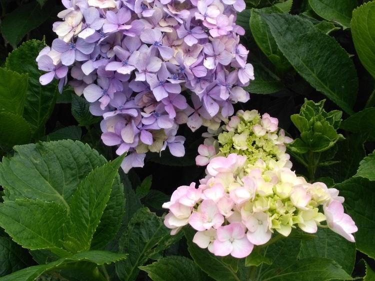 紫陽花の発色の仕組み