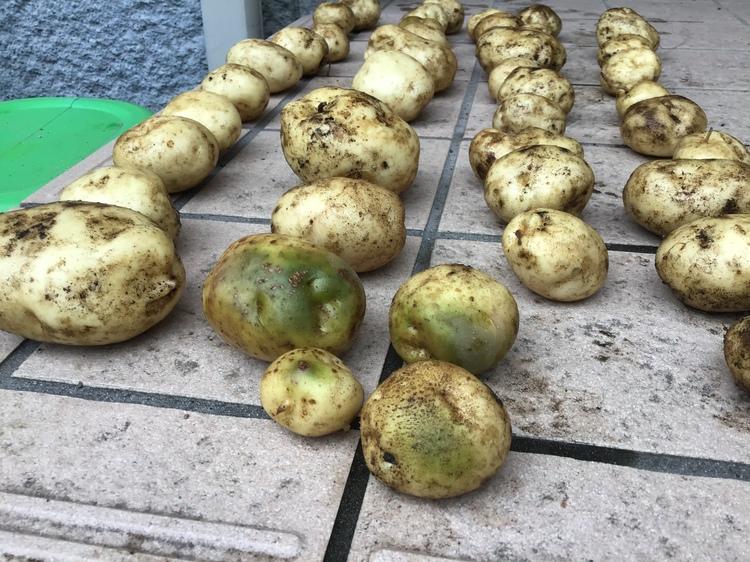 緑色のジャガイモ