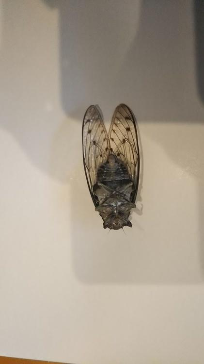 蝉の見分け方