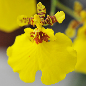 Oncidium 3 before pollination.jpg