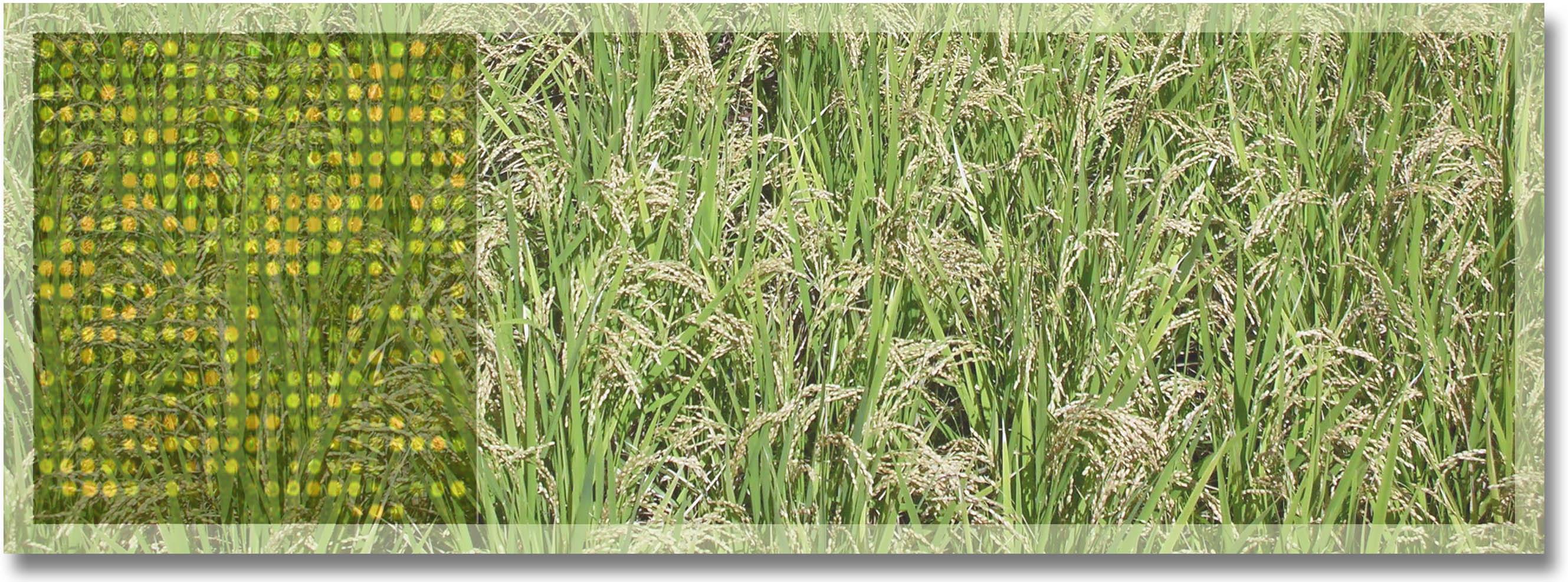 http://www.ige.tohoku.ac.jp/prg/genetics/study_report/upload_items/201110/rice-field3.jpg