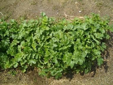 http://www.ige.tohoku.ac.jp/prg/watanabe/as-vegetable2018/images/20190227135858-482c88ab7886a2b229be230e5a47af45485f75ad.jpg