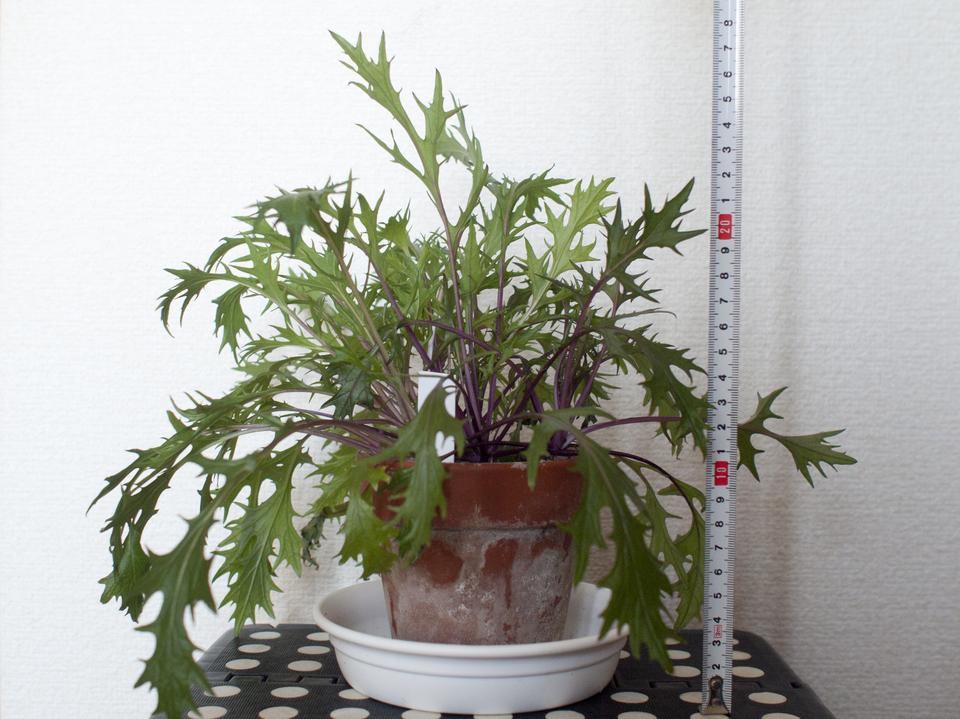 http://www.ige.tohoku.ac.jp/prg/watanabe/as-vegetable2018/images/20190314154950-1e399791614f2b13ef60906a79a8bf6a3fbb61ae.jpg
