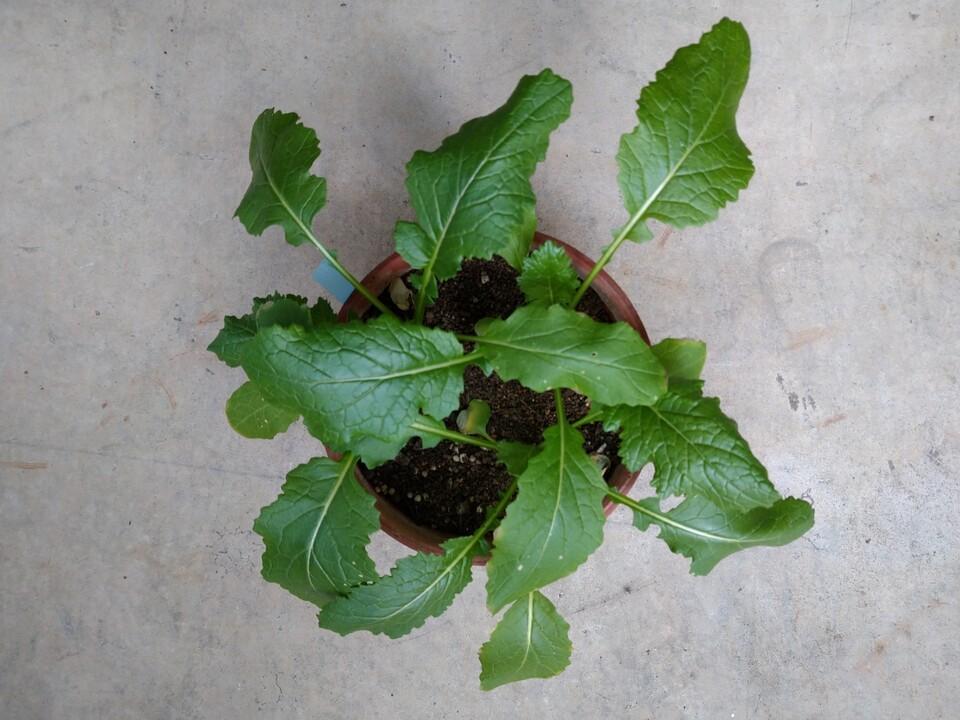 http://www.ige.tohoku.ac.jp/prg/watanabe/as-vegetable2020/images/20201221101234-007fef6a3964be69620360e8b068053213b61566.JPG