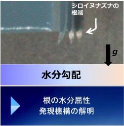 根の水分屈性発現機構の解明
