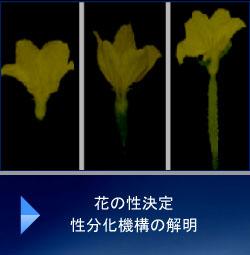 花の性決定性分化機構の解明